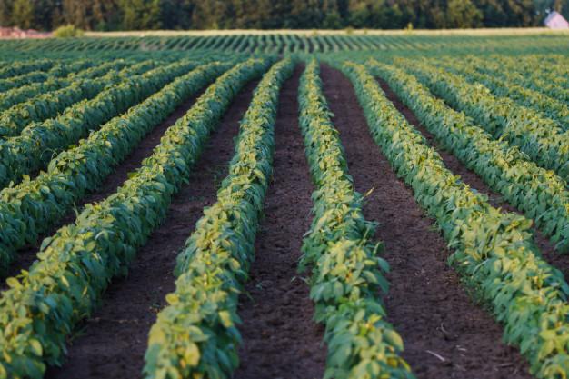 trồng đậu tương